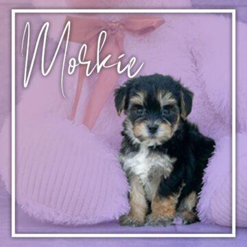 Morkie