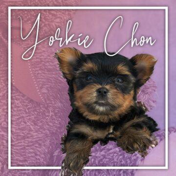 Yorkie Chon