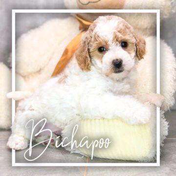 Bichapoo