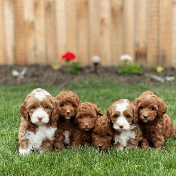 Designer Puppies